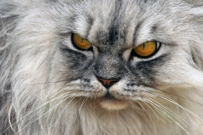 3084598-a-photo-of-an-angry-cat