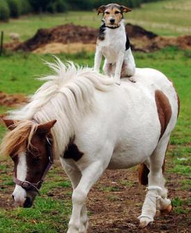 horseback-riding-dog-attracts-attention-1OF